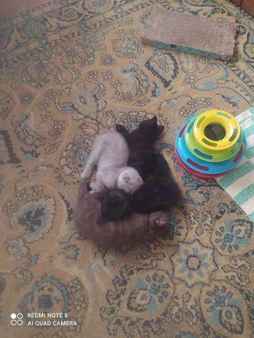Продаются чистокровные шотландские котята, рождены 15.06.2021 г