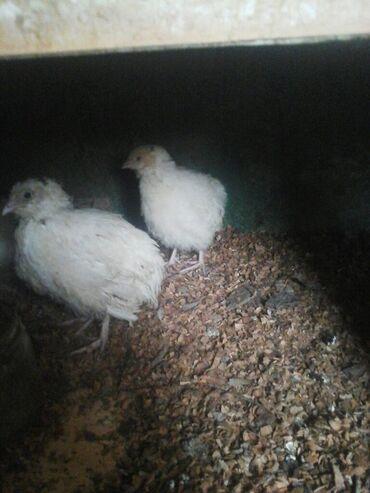 - Azərbaycan: Bildircin eti hemde cuceleri yumurtasi satilir