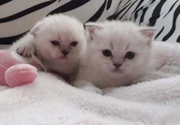 30gunluk color point dişi təmiz Scottish fold (sallaqqulaq) bədəni