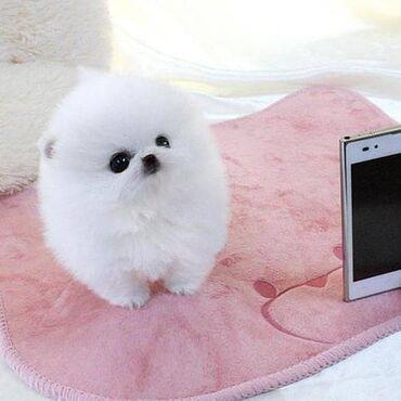 Όμορφα κουτάβια Pomeranian λευκού τσαγιούΠανέμορφα αρσενικά και θηλυκά