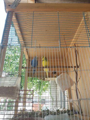 Волнистый попугай Обмен 1 ну конорейку или продаю