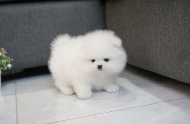 Όμορφα κουτάβια Pomeranian προς πώληση Κουτάβια * 12 εβδομάδες