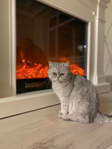 шотландская прямоухая в Кыргызстан: Шотландская кошка, возраст 2года 6 месяцевПо всем вопросам обращаться