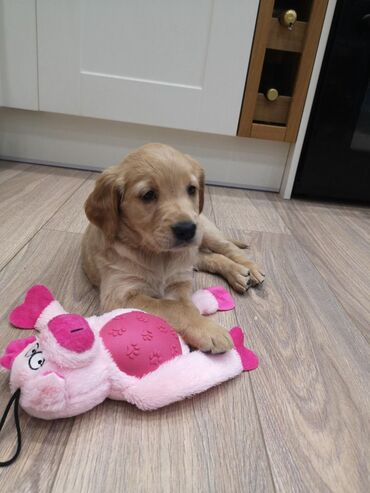 Golden Retriever PuppiesGolden Retriever puppies available for any