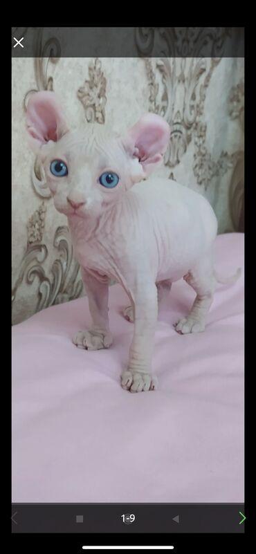 Куплю котёнка Сфинкса срочно