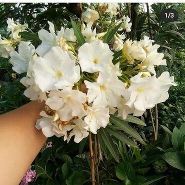 Otaq bitkiləri Xırdalanda: Ağ alyandır satılır böyük koldu