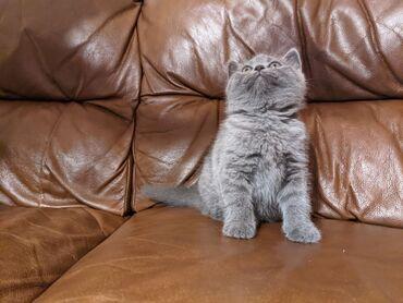 Πανέμορφα σκωτσέζικα γατάκια για υιοθεσίαWhatsApp μου +33 Πανέμορφα