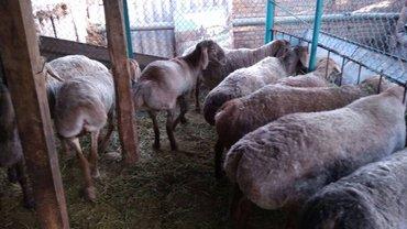 Продаю гиссарких бараранов  4 маток   в Бишкек