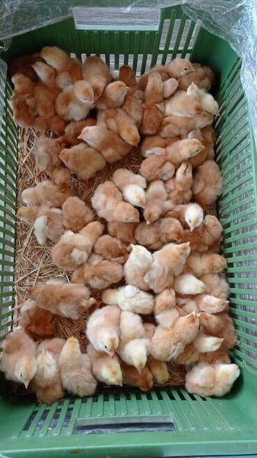 Животные - Кыргызстан: Продаю | Цыплята | На забой, Для разведения, Несушки