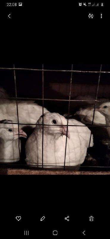 Перепёлки альбиносы мясная порода