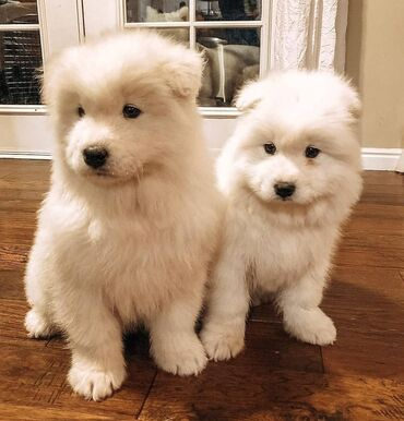Samoyed puppies Ready for rehoming both genders available, vaccinated