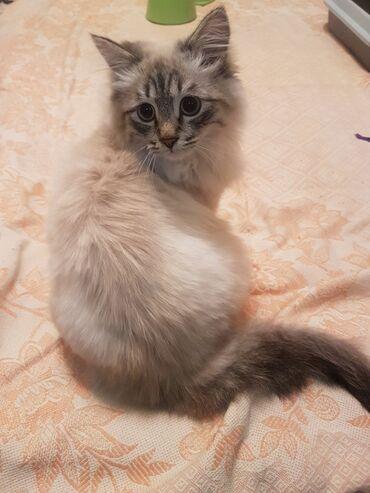 Продаем кота в добрые,любящие руки.Порода невская маскарадная кошка