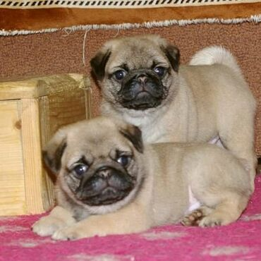 Pug puppies available for rehoming All complete shots and vaccines