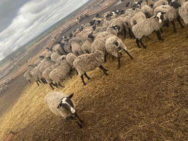 Бараны романовской породы - Кыргызстан: Продаю | Овца (самка), Баран (самец)