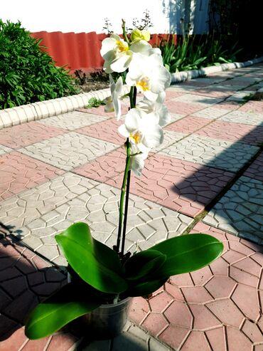 ленточки для подружек невесты в Кыргызстан: Невеста Орхидея! Орхидеи! Орхидея фаленопсис, 55см Есть другие цвета Ц