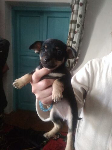 бивер йоркширский терьер в Кыргызстан: Продаю щенков той терьеров чорная девачка белый мальчик кушают сами