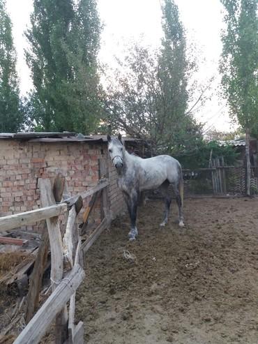 Продаётся жеребец 5 лет кличка Кок жал в Беловодское