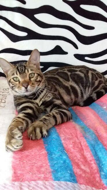 Бенгальский шикарный котик 7мес Скидки!!! Скидки!!!!продается только
