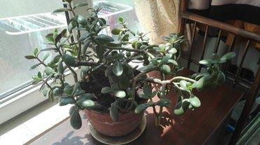 Продаю комнатные цветы. 1. Денежное дерево 2шт в Бишкек