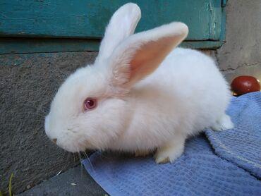 Грызуны - Беловодское: Кролики новозеланцы  3 месяца 4 штуки