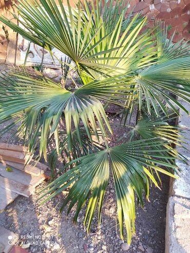 Palma Ağacları Satılır Her curesi var qiymetleri ferqlidi etraflı zeng