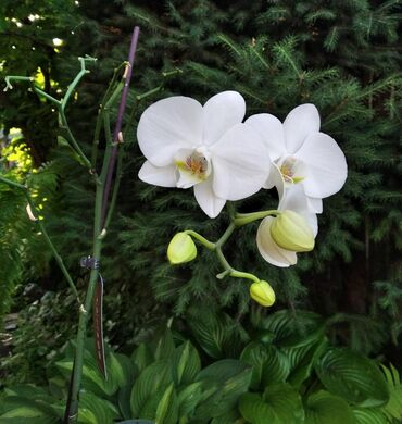 растение-комнатная в Кыргызстан: Продаю орхидею белую. Очень красивая, ухоженная. Цветет у нас уже