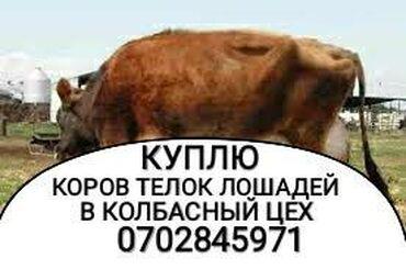 купить постельное белье для гостиниц в розницу в Кыргызстан: КУПЛЮ СКОТ В КОЛБАСНЫЙ ЦЕХ  По максимальной цене