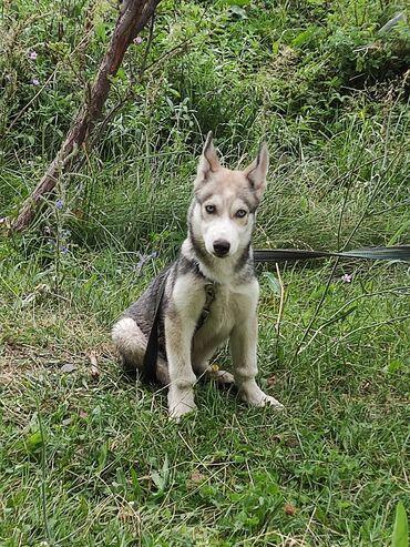Животные - Орто-Сай: Продаю щенка Сибирской Хаски. Мать и отец имеютродословную и