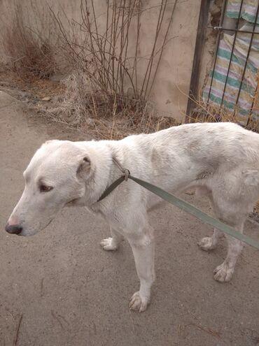 Животные - Токтогул: Продаётся сабака алабай 1 год мальчик 6000 сом