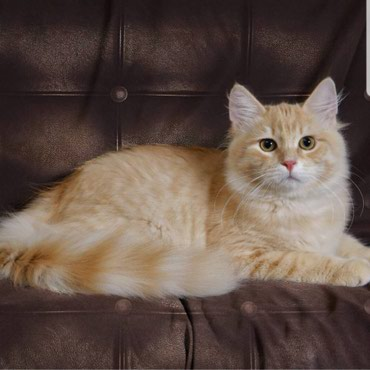 сибирский ель в Кыргызстан: Сибирский, чистокровный кот(3,5 года). Аборигенская порода,полная