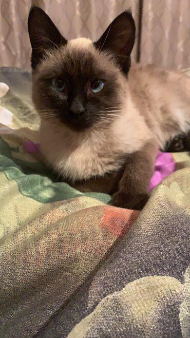 британский короткошерстный котенок в Кыргызстан: Помогите найти! Пропал котёнок 13.01.2021 г. В селе Орто-сай 5
