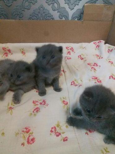 Готовятся к продаже шотландские котята голубого окраса