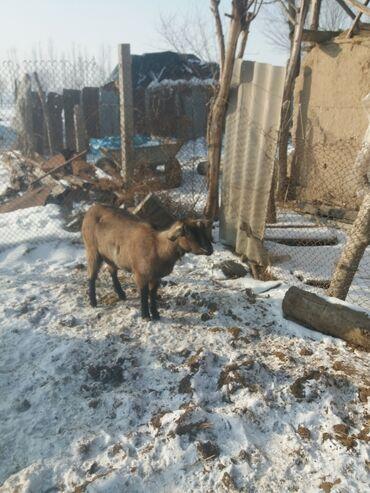 buick le sabre 3 8 at в Кыргызстан: Продаю чешскую казу малочной направление будит 2 акот первым акотам
