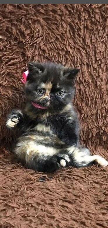 Продаются котята редкой экзотической породы(экзоты), черный мальчик