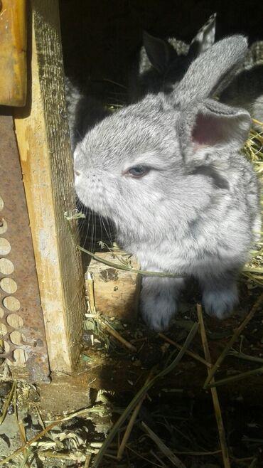 кролики бишкек in Кыргызстан   ДЕКОРАТИВНЫЕ КРОЛИКИ: Продаю   Крольчата   Серый великан   Для разведения   Племенные