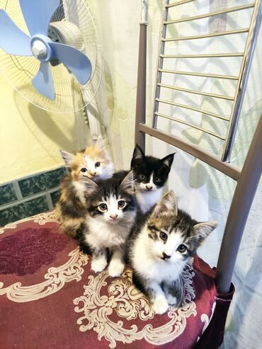 597 объявлений: Отдам котят в хорошие руки. Котятам 2 месяца. Мышеловы