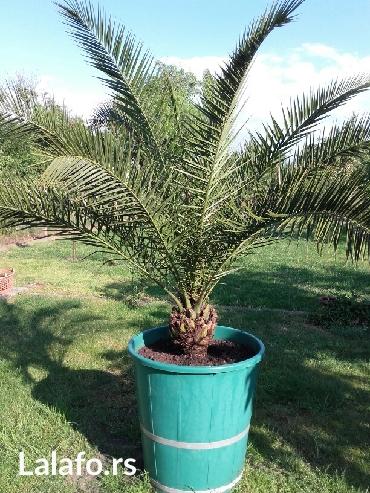 Prelepa palma stara preko tridesetpet godina,ima vise od 2. 5 metra