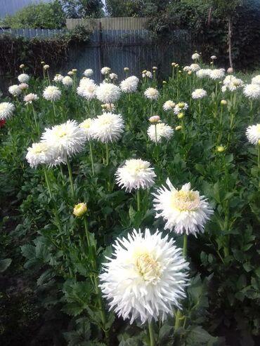 Все для дома и сада в Кок-Ой: Продаю георгину белую цена 30 сом за штуку, самовывоз т