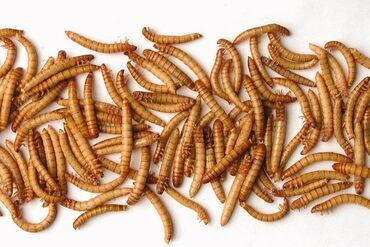 Мучной червь  Мучной хрущак  КО для рептилий, птиц  Наживка