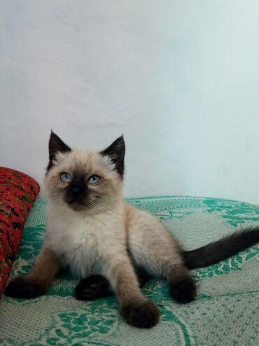 Коты - Кыргызстан: Котята мальчик и девочка 2 месяца мать сиамская отец вероятно тоже к