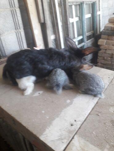 Продаю кроликов самец фландер с ризенем смешанный около года большой и