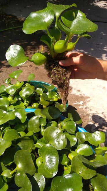 Семена и уличные растения - Кара-Балта: ВОДНЫЕ ГИАЦИНТЫ Растение для аквариумов и уличных водоёмов