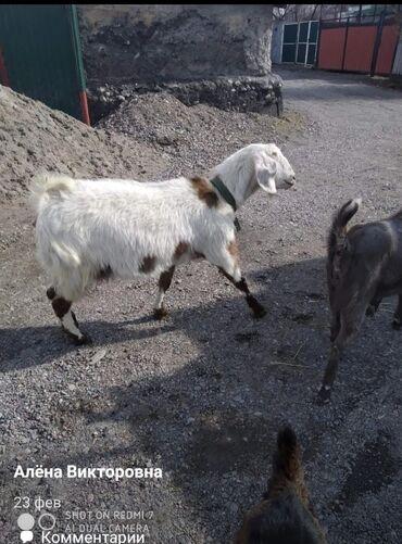 Продаю | Коза (самка) | Нубийская, Битал | Для разведения, Для молока | Племенные