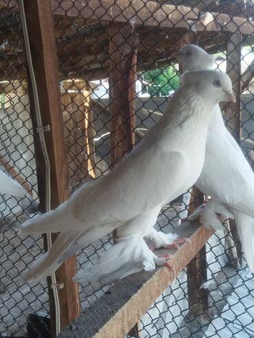 Животные - Токтогул: Голуби андижанцы игровые