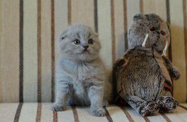 Продается котенок скотиш фолд. Девочка. Родилась 23 мая. Приучена к