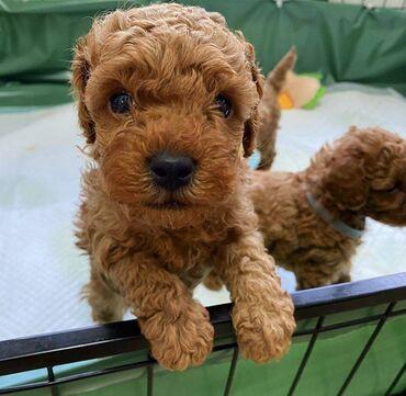 Μίνι κουτάβια Poodle προς πώλησηΚουτάβια Mini Poodle διαθέσιμα προς