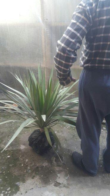 Юкка. морозостойкие юкки и пальмы. в Араван