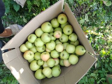 13326 объявлений: Продаю вкусные и сочные яблоки, оптом и в розницу, свежие экологически
