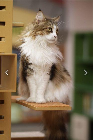 Куплю кота, породы Мейн-кун. г. Каракол. в Каракол