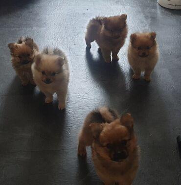 Έχω σκουπίδια από 5 κουτάβια Pomeranian, 3 αγόρια 2 κορίτσια, DOB